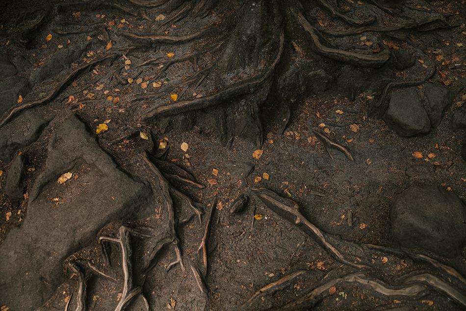 korzenie drzew splatają się ze sobą, sa lekko opruszone zółtymi liśćmi