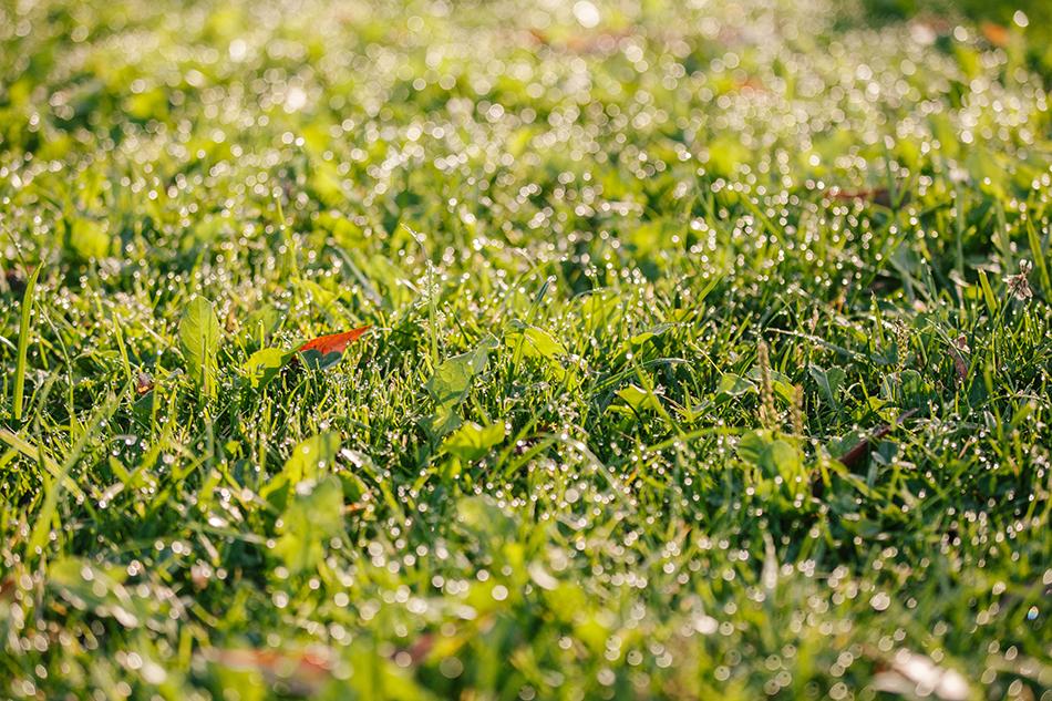 na trawie pojawia się rosa